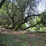 Vine Tree of Pausania